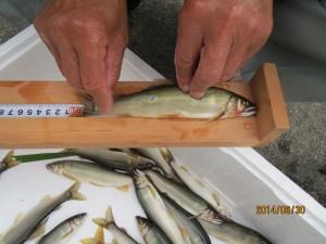 塩川で釣れました